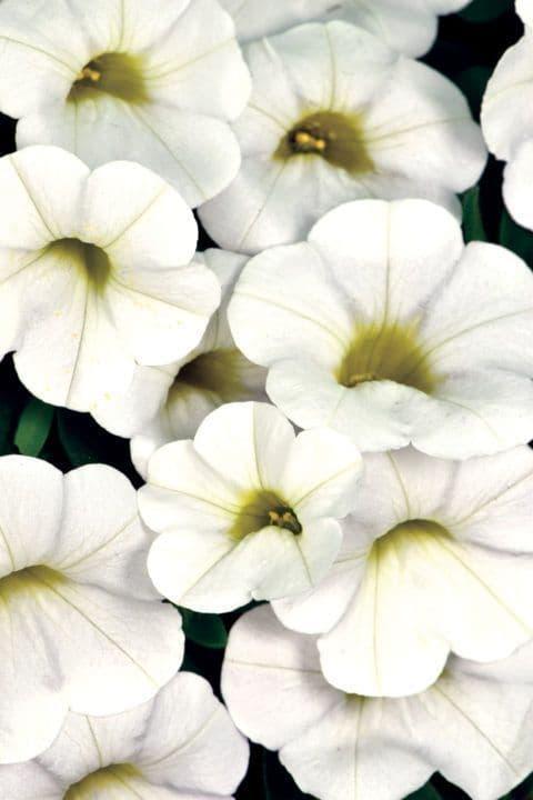 WFL® Calibrachoa Calitastic White